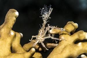 Crabe araignée - Achaeus spinosus