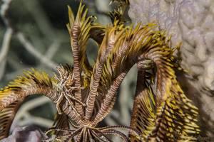 Crabe epineux des comatules - Ceratocarcinus spinosus
