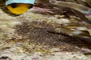 Oeufs poisson clown a 2 bandes - Amphiprion bicinctus