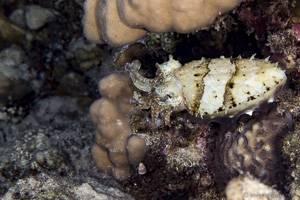 Hooded cuttlefish - Sepia prashadi