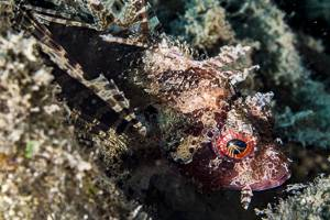Shortfin Turkeyfish - Dendrochirus brachypterus