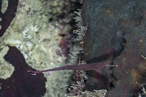 Many-banded pipefish - Dunckerocampus multiannulatus