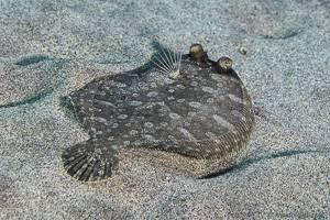 Wide-eyed flounder - Bothus podas