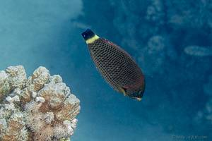 Chisel-tooth wrasse - Pseudodax moluccanusn