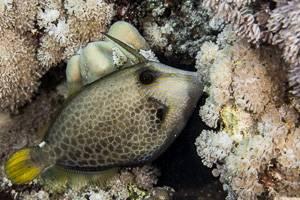 Honeycomb filefish - Cantherhines pardalis