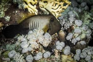 Broom filefish - Amanses scopas