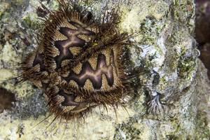 Bald-patch urchin - Microcyphus rousseau
