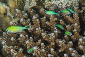 Blue green damselfish - Chromis viridis