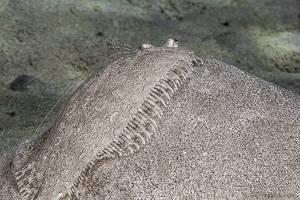 Panther flounder - Bothus pantherinus