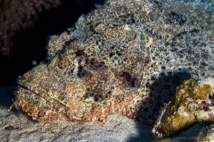 Poisson scorpion -