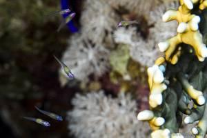 Redeye goby - Bryaninops natans