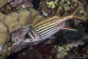 Sammara squirrelfish - Neoniphon sammara