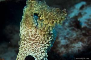 Sponge sp -