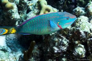 Dark Green Parrotfish - Sparisoma viride