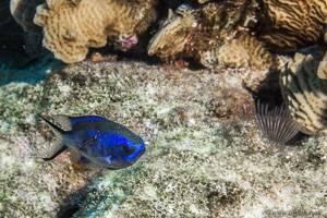 Blue chromis - Chromis cyanea