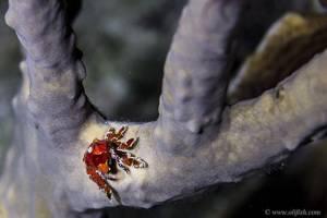 Crab sp - Sp