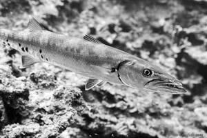 - Sphyraena barracuda