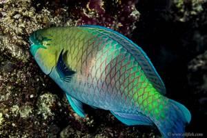 Bicolour parrotfish - Cetoscarus bicolor