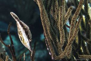 Bourse-elancée - monocanthus-tuckeri