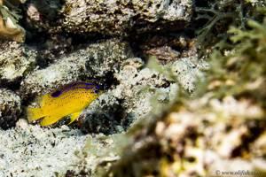 Longfin damselfish - Stegastes diencaeus
