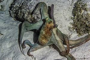 Poulpe commun - Octopus Vulgaris