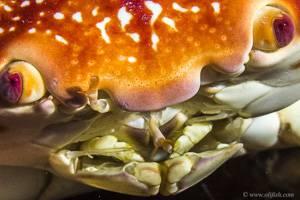Crabe bombé - Carpilius corallinus