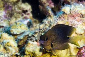 Threespot damselfish - Stegastes planifrons