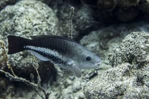 Queen parrotfish - Scarus vetula