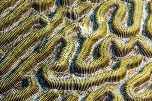 Corail cerveau - Elacatinus randalli
