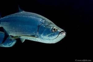 Tarpon - Megalops atlanticus
