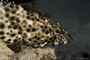 Estuary Rock-cod - Epinephelus tauvina