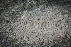 Moses Sole - Pardachirus marmoratus